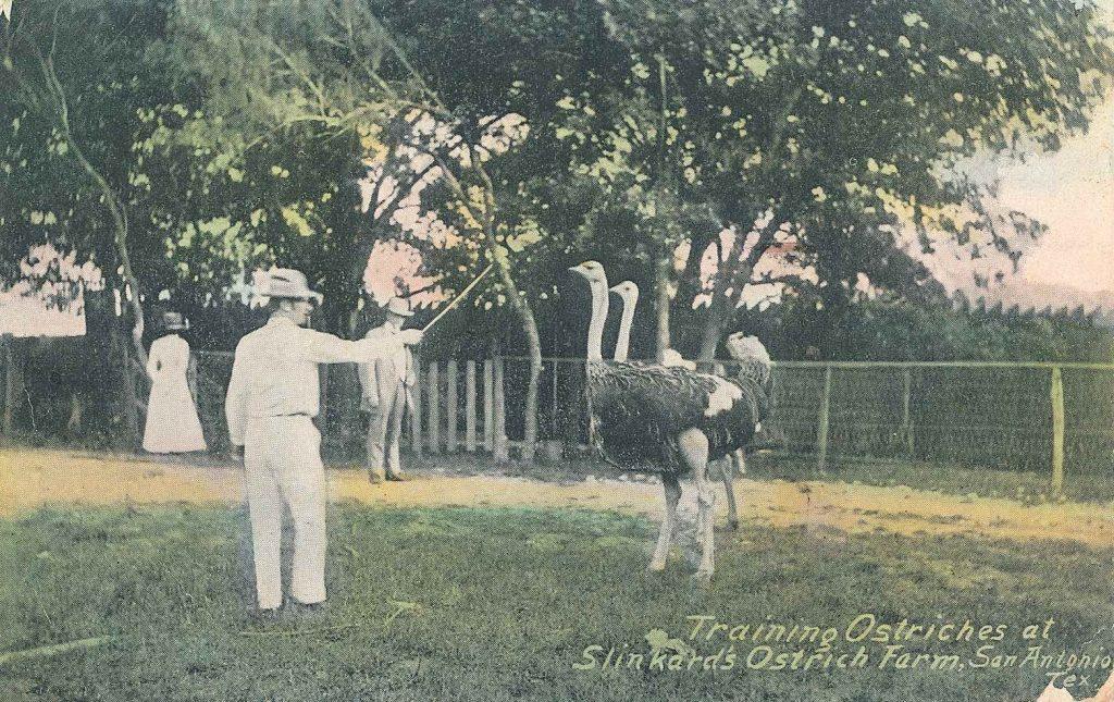 Postcard of man training ostriches at Slinkard's Ostrich Farm